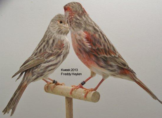 Op 't hok bij ... Freddy Heylen te Grobbendonk (B) - Bruin Eumo Rood Mozaiek T1 & T2
