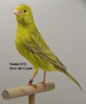 Op 't hok bij ... Nico Van Coster te Brakel (B) - Kleurmutanten Allerlei