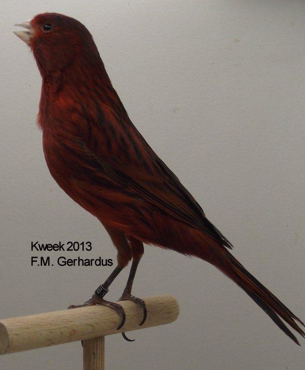Zwart Kobalt Rood Intensief Man - Kweek : F.M.Gerhardus (NL)