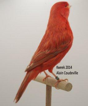 Op 't hok bij ... Alain Coudeville te Knokke (B) Lipochroom Rood en Isabel Rood