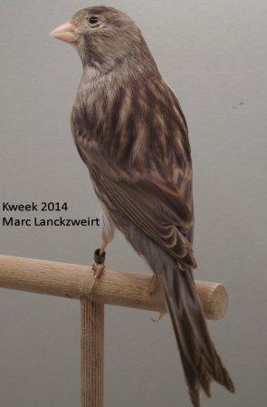 Op 't hok bij ... Marc Lanckzweirt te Zomergem (B) > Klassiek Bruin