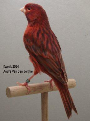 Op 't hok bij A. V/d Berghe te Sint-Maria-Oudenhove (B) - Bruin Kobalt Rood Mozaiek e.a.