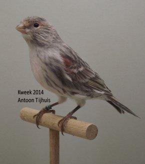 Op 't hok bij ... Antoon Tijhuis te Nuenen (NL) - Kleurmutanten Allerlei ... (3)