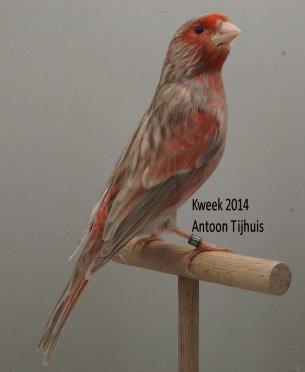 Op 't hok bij ... Antoon Tijhuis te Nuenen (NL) - Kleurmutanten Allerlei ... (2)