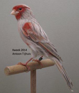Op 't hok bij ... Antoon Tijhuis te Nuenen (NL) - Kleurmutanten Allerlei ...  (1)