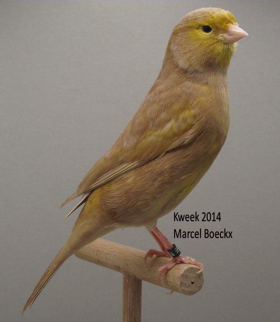 Op 't hok bij ... Marcel Boeckx te Kasterlee - Bruin Pastel Geel Schimmel