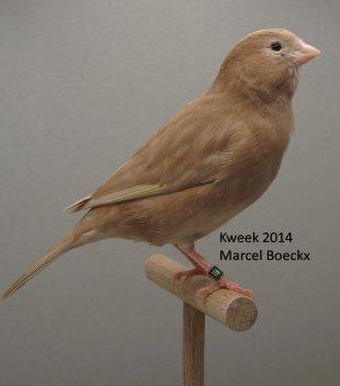 Op 't hok bij Marcel Boeckx te Kasterlee - Bruin Pastel Geel Int.- Bruin Pastel Wit Dom.