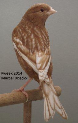 Op 't hok bij ... Marcel Boeckx te Kasterlee - Phaeo Wit Dominant (Bruinserie)