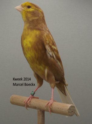 Op 't hok bij ... Marcel Boeckx te Kasterlee - Phaeo Wit Dominant - Phaeo Geel