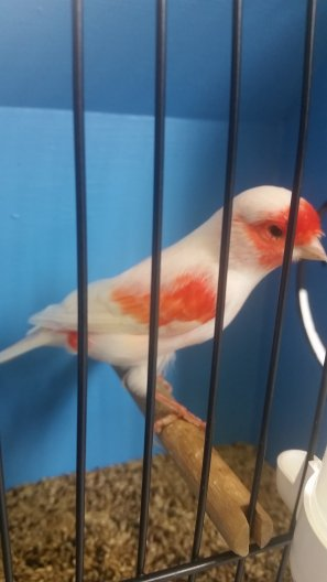 South Florida Bird Breeders Association > Judges Aldo Donati & Daniële Del Zompo (It.)