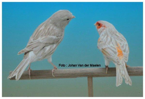 Bruin-Agaat Eumo Geel (Isabeleumogeel) & Bruin-Agaat Wit ( Isabelwit )