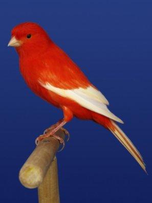 Lipo Rood Intensief met Witte Vleugels - Lipo Rojo Intenso Alas Blancas