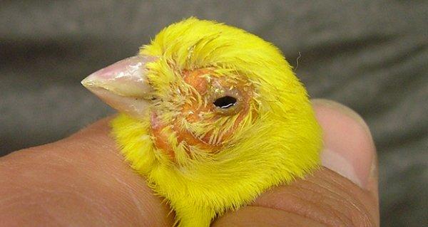 TRICHO 'Parasitaire Protozoa' en RONIDAZOL bij onze kleurvogels
