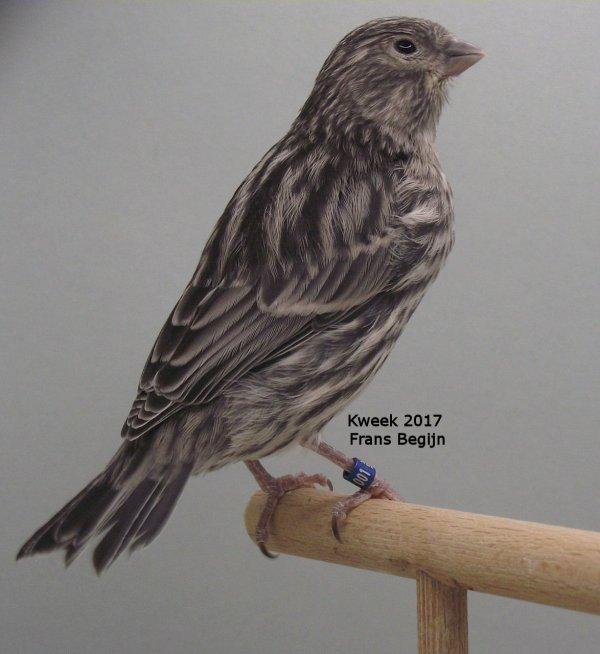 Mendelen met Zwart Topaas Kleurvogels ( Topaasfactor > Autosomaal recessief )