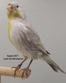 Halfzijder Zwart Opaal Geel <> Wit Dominant bij Lode Van Berendonck te Schilde (B)