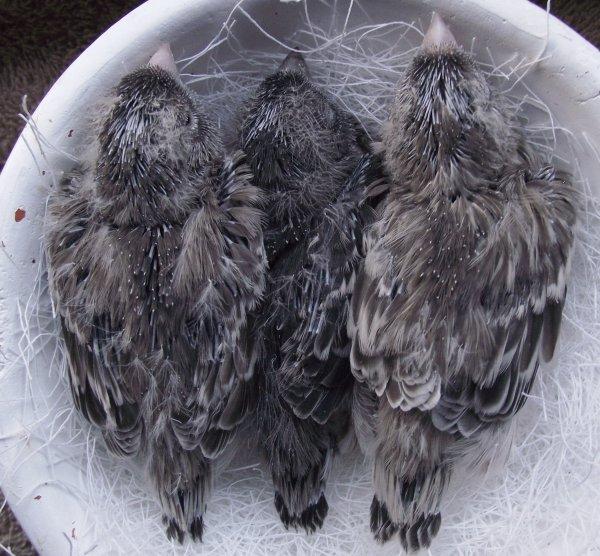 Topaas (zwart) Allel van het autosomaal recessieve ino gen. (nest-evolutie)