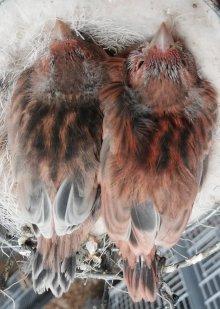 Zwart Eumo Rood - Zwart Rood split Eumo
