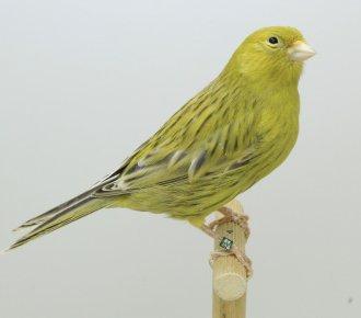 Top-Selectie eigen kweek Kleurvogels > Kevin en Jan Clijmans te Oud Turnhout (B) 2