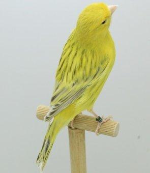 Top-Selectie eigen kweek Kleurvogels > Kevin en Jan Clijmans te Oud Turnhout (B) 1