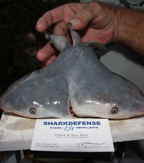 Requin à deux têtes !