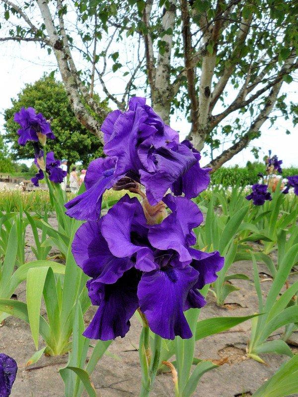 LES IRIS du jardin botanique de Bordeaux
