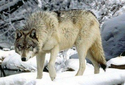 Un loup... c'est quoi exactement?
