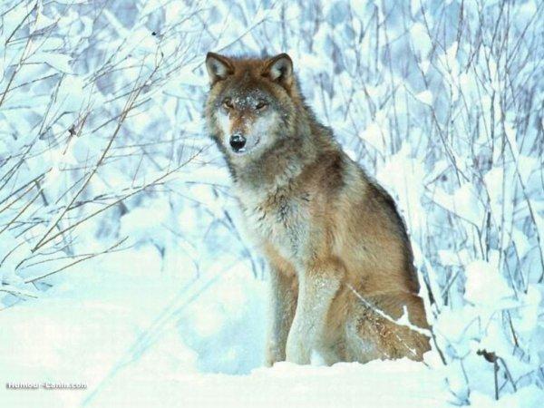 Les expressions avec le loup