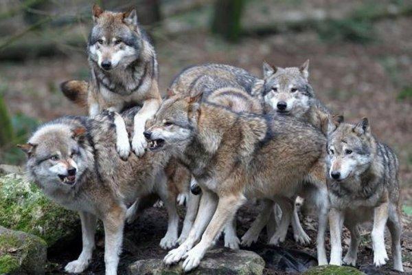 Les meutes de loup