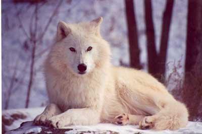 Reveuse de loups