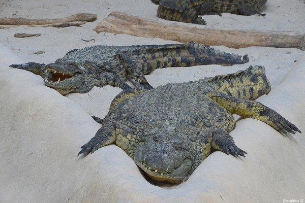 Les crocodiles a la plage..