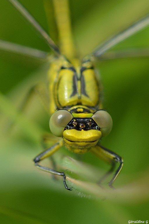 Gomphe à pattes jaunes