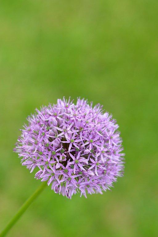 Allium (Ail d'ornement)