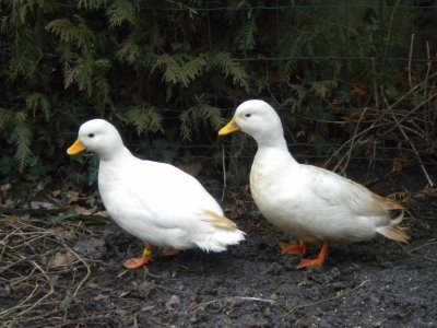 Mon couple de canards mignon blanc blog de mon elevage 26 - Difference entre filet et magret de canard ...