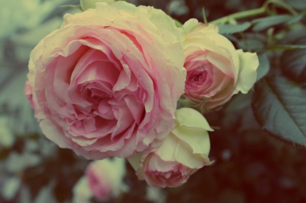 Rose, Comme tes joues :3