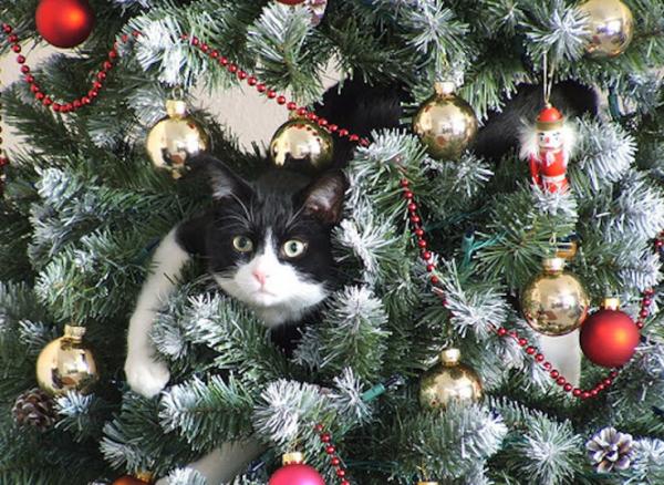 quand on chat trouve que le sapin est bien plus amusant et agréable, que tout les autres arbes.