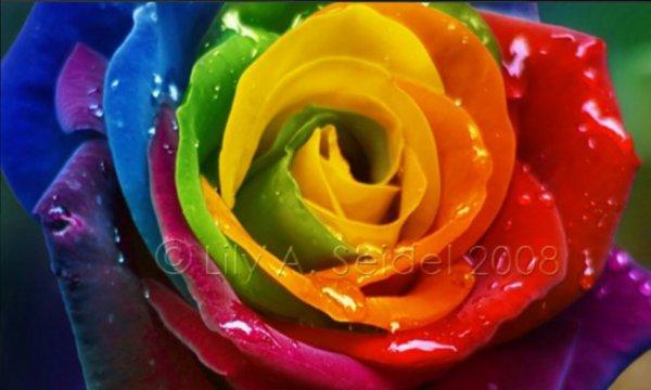 rose manifique