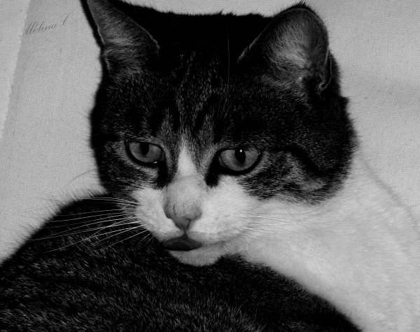 Si l'on pouvait croiser l'homme et le chat, ça améliorerait l'homme, mais ça dégraderait le chat. Mark Twain