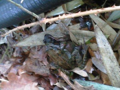 la fécondation de grenouille sur chantier