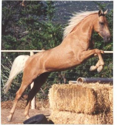 Cheval palomino qui saute les dadas - Cheval qui saute dessin ...