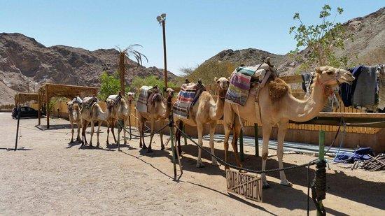 Le Ranch Camel à Nachal Shlomo