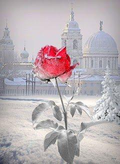 Magnifique splendeur. La rose éternelle du bonheur