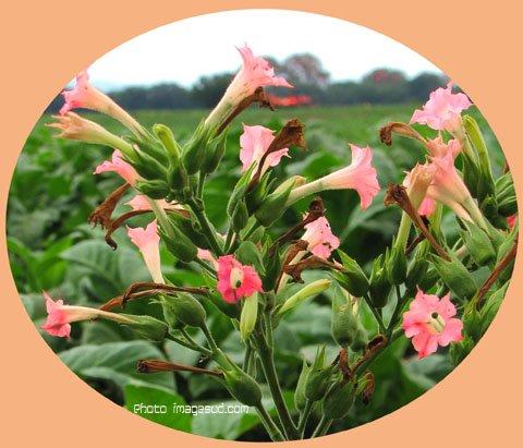 la plante vedette au XVIIe s. AUX ANTILLES !!