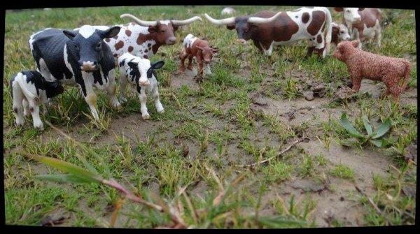 Notre jolie troupeau de vaches