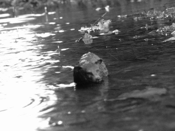 Petit ours dans l'eau