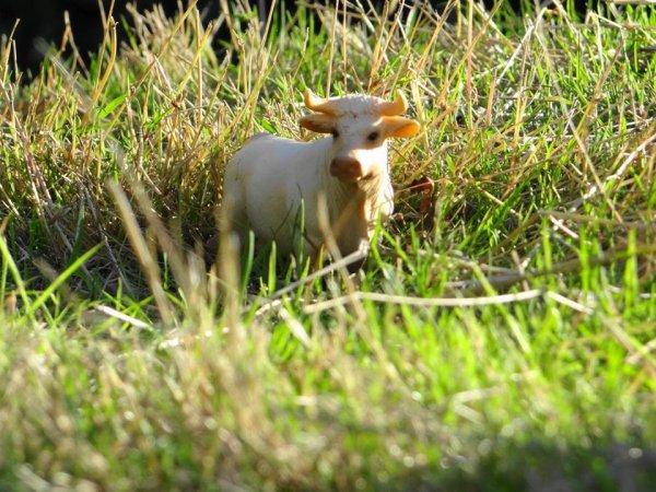 Notre petite vache