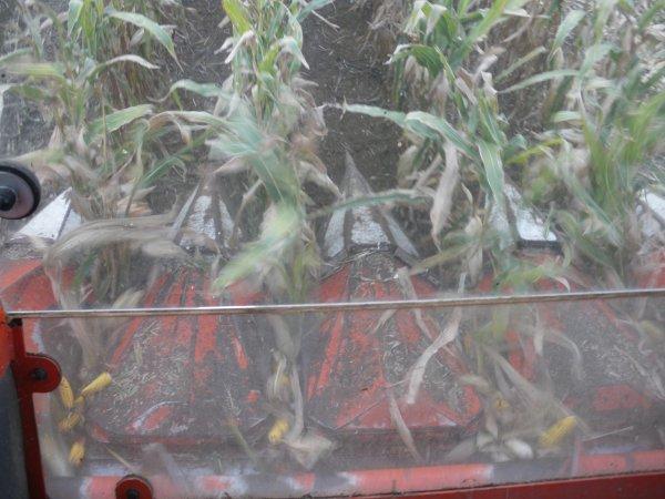 Récolte de maïs de semence
