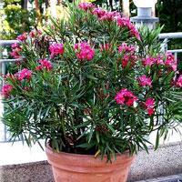 Blog de bouture51 page 6 les boutures - Arrosage laurier rose en pot ...