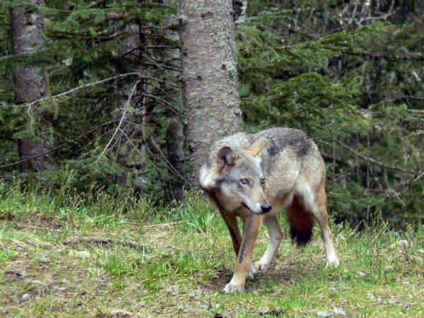 Le Loup: Biologie et Présence en France