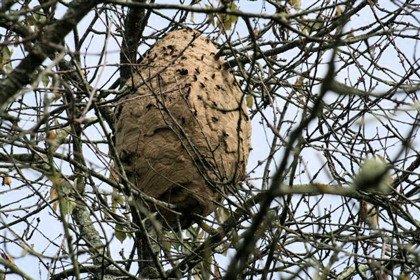 Un nid de frelon asiatique  ATTENTION