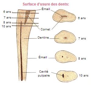 Les dents et la mâchoire